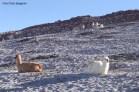Lhamas no Salar de Uyuni