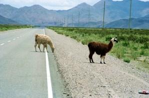 Lhamas perto de Salina Grande, Noroeste da Argentina - Foto: Manual do Turista