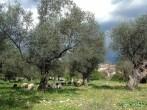 Molise, olivias, -Lucio-Musacchio