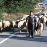 Pastor conduzindo ovelhas, Serra da Estrela