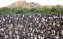 Pinguinera, próxima a Ushuaia, Terra do Fogo
