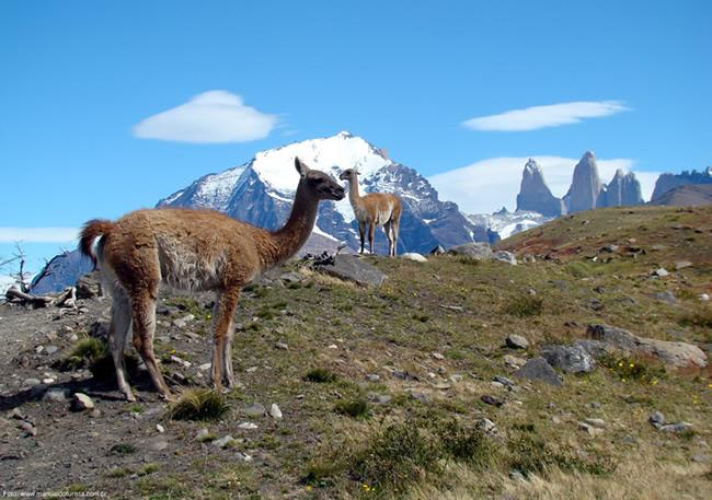 Guanaco, Torres del Paine