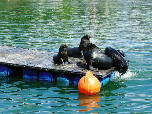 Fauna marinha em frente ao mercado de Valdivia, Chile