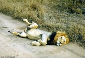 África do Sul, leão