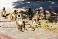 Macacos soltos em Jaipur, Índia