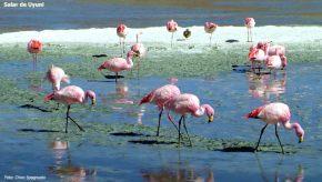 Salar de Uyuni, flamigos cor-de-rosa