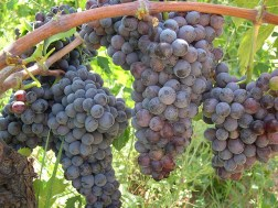 Plantação de vinhas na Calábria