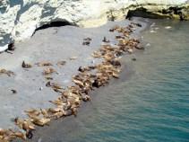 Leões-marinhos em Puerto Madryn, Argentina