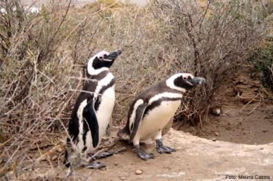 Pinguins em Punta Tombo, Patagonia Atlântica