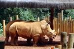 Rinocenronte no Jardim Zoológico de São Paulo