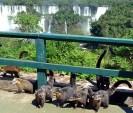 Quatis em Foz do Iguaçu PR