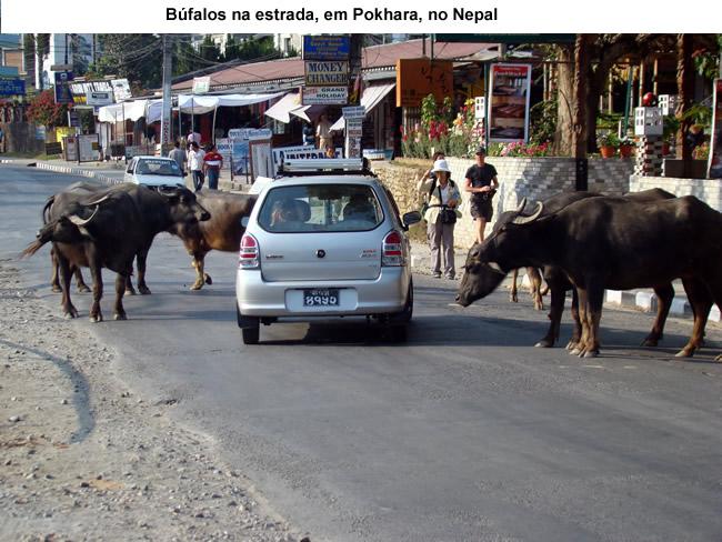 Búfalos na estrada, Pokhara, Nepal