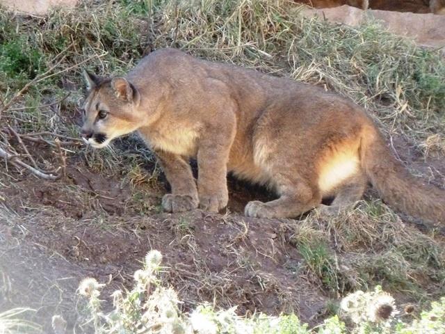 Puma em santuário de animais no Vale Sagrado dos Incas, Peru