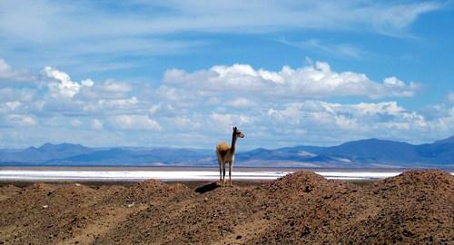 Alpaca em Salina Grande, puna argentina