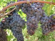 Uvas numa vinícola da Campania
