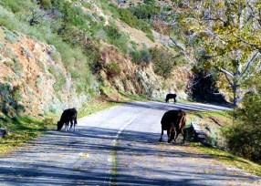 Córsega - de Cavi a St-Laurent, vacas na estrada, um perigo