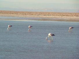 Flamingos rosados no Deserto de Atacama, Chile
