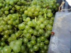 Uva Chardonay - Foto: Champagne Philipponnat CCBY_