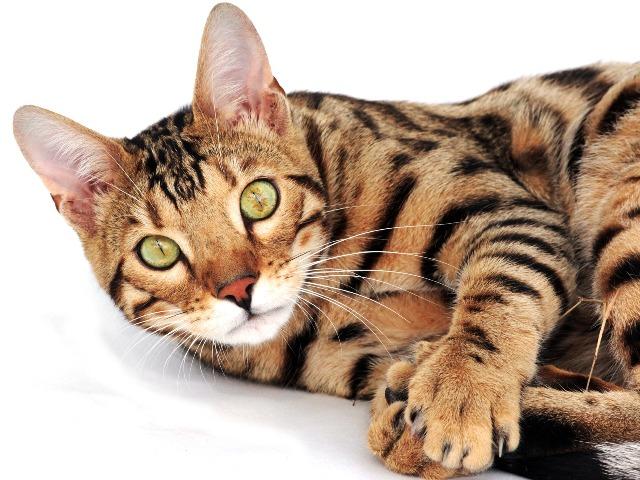 Katzen Für Allergiker Allergikerfreundliche Rassen