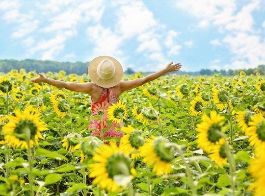 sunflowers, field, woman-3640938.jpg