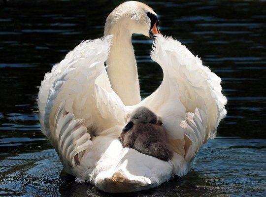 swan, baby swan, white-2350668.jpg