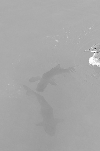 Vogel und Fische; Schwarz-Weiss-Challenge Tag 3