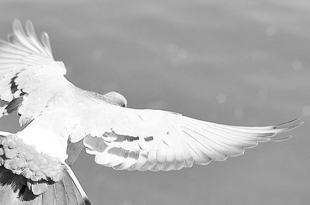 Taube beim Abflug; Schwarz-Weiss-Challenge Tag 2