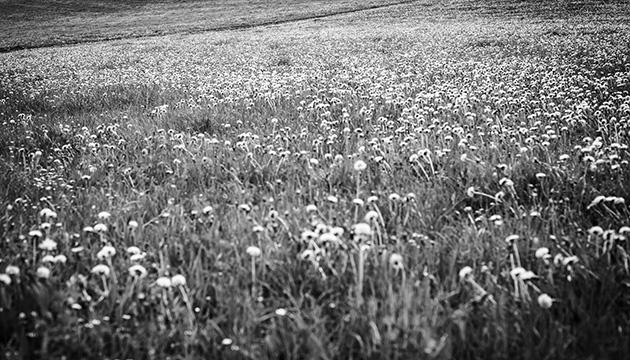 Landschafts-Fotografie – Ein Spaziergang auf den Gurten; Beitragsbild in Schwarz-Weiss einer Wiese mit blühendem Löwenzahn