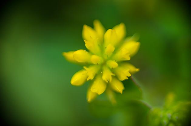 Blüte einer Butterblume kurz vor dem Ausbrechen.