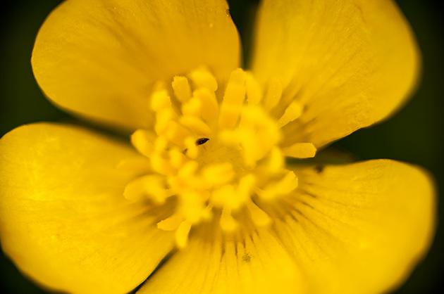 Blüte einer Butterblume mit einem kleinen Insekt im Blütenkern.