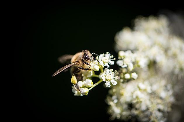 Nikon D810 – Makro-Aufnahme von einer Biene auf einer Zwerg-Holunder (?) Blüte