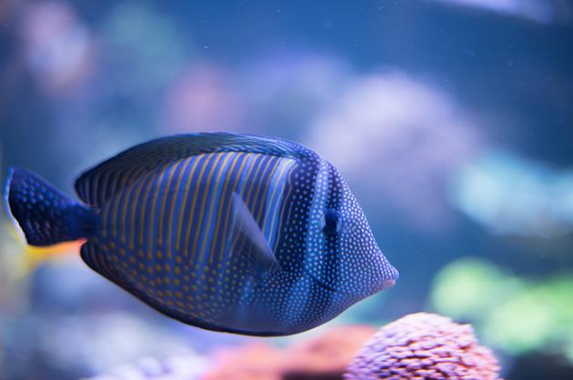 Tropischer Fisch im Aquarium