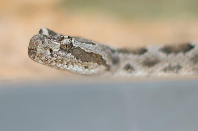 Kopf einer Klapperschlange im Vivarium