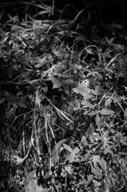 Schmetterling auf einer Blüte im Berner Oberland.