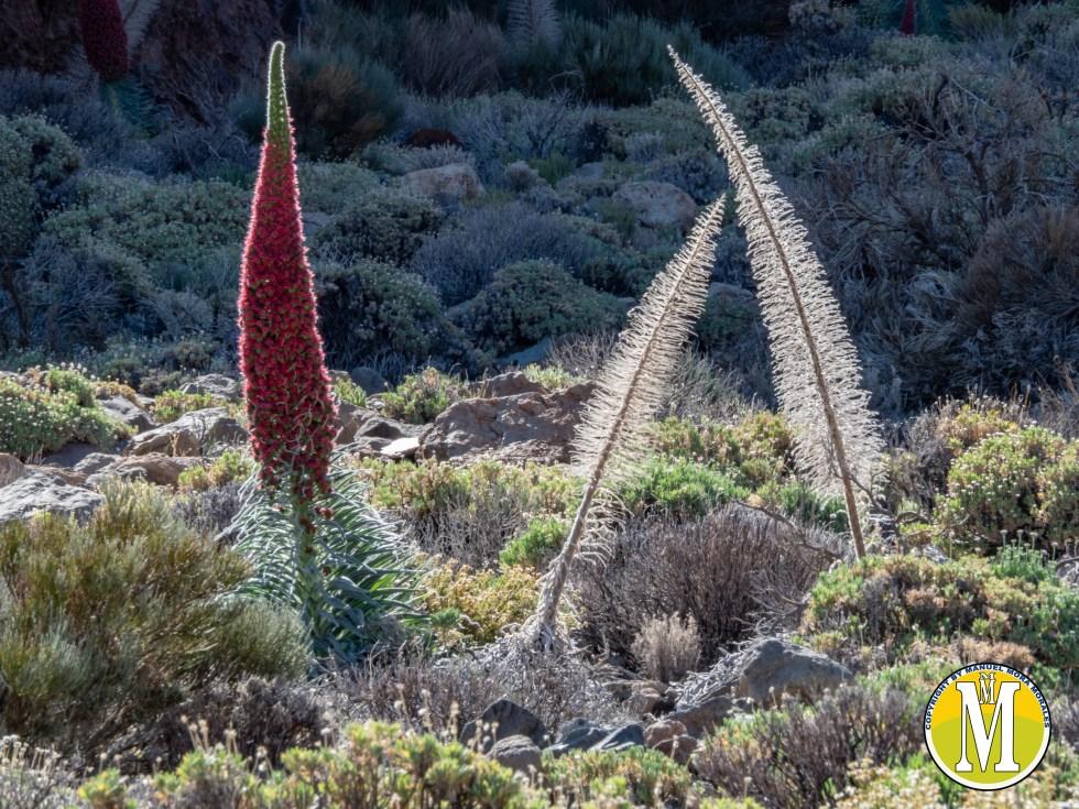 Tajinastes rojos del Teide en 2019.