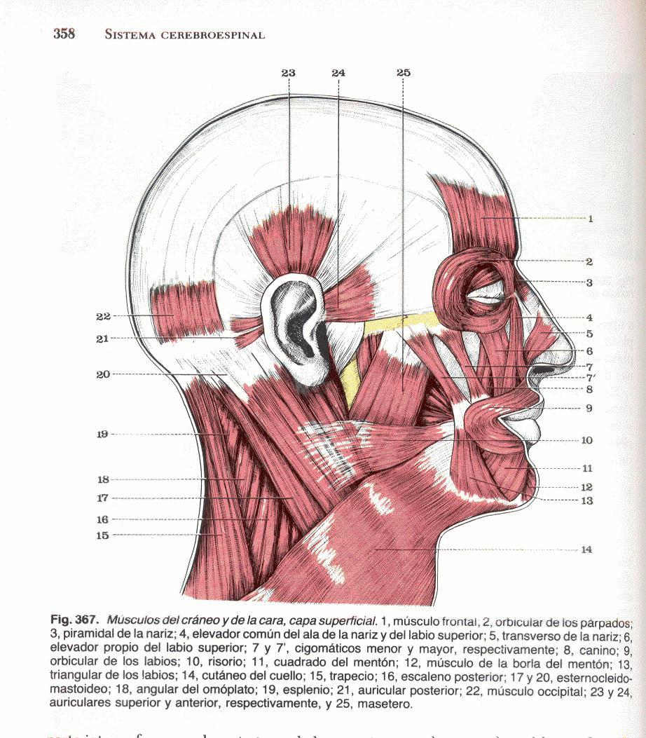 Canon de proporciones de la cabeza antropomrfica