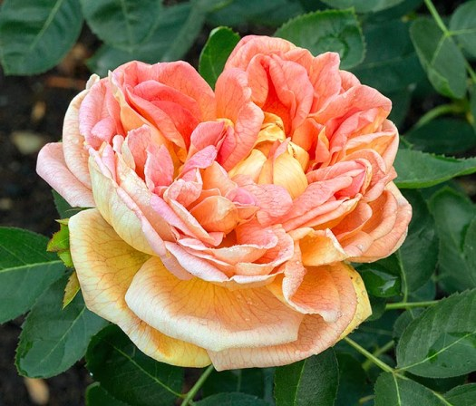 The first yellow cultivar - Soleil d'Or' - introduced in 1900