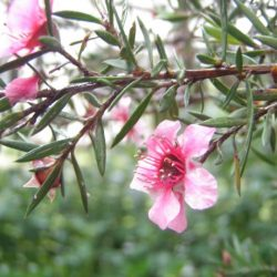 Manuka Honey Flower