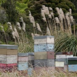 Manuka Honey USA Copyright 2012+ New Zealand Bee Hives - Photo by Elaine S.