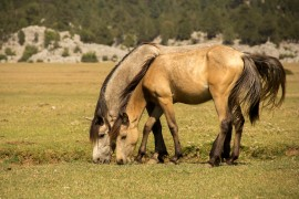 equine health, manuka honey