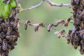 honeybee, wing virus