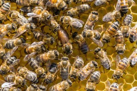 honeybee study, queen bee, the hive, theft