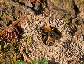 ground bee, ground bee nest