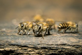 honeybees, honeybees alarm system, protection, china, bacteria