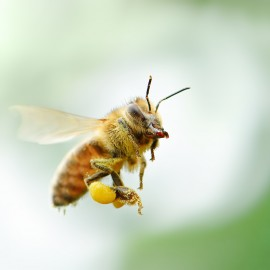 honeybee breeds, honeybee brain, drone models, seaweed