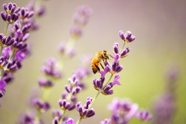 lavender, honeybee brain, honeybees, pollen