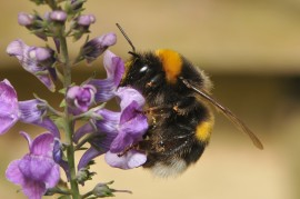 butterburs, honeybee preferences, accents, pollination, bumblebee