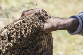honeybee swarms, declining bee populations