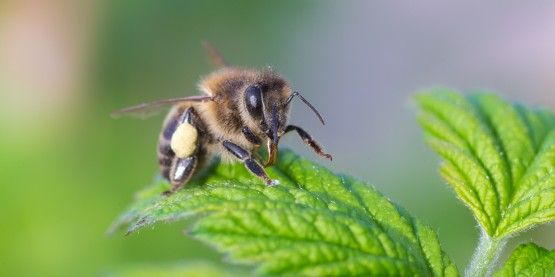 honeybees, colony collapse disorder, pesticide, decline