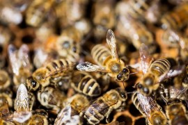 North Dakota honeybees, colony collapse disorder